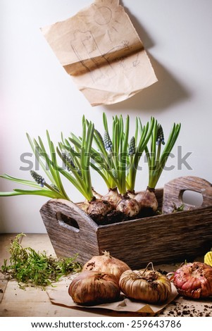 Muskari sprouts and tulip bulbs ready for planting and garden tools over wooden table. - stock photo