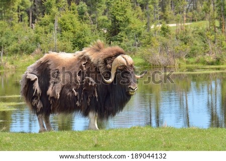 muskox at first a small lake in a clearing in the forest - stock photo