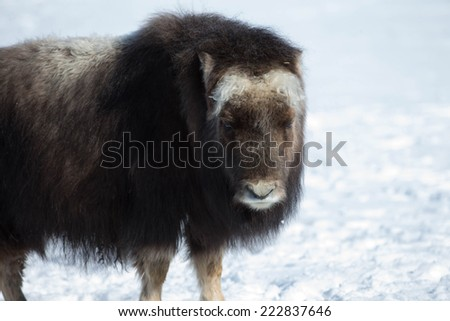 Muskox closeup - stock photo