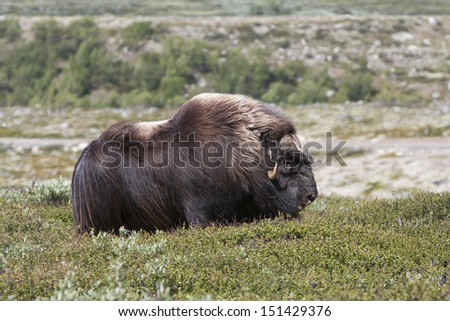 Muskox (Ovibos moschatus) at national park Dovrefjell (Norway)