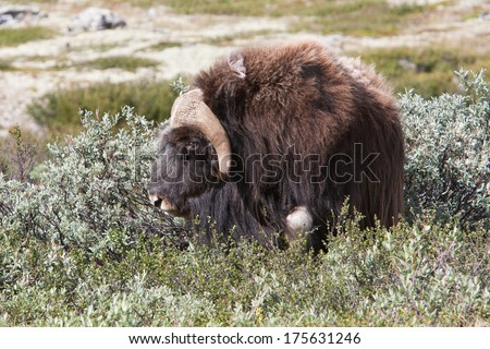 Muskox (Ovibos moschatus) at national park Dovrefjell (Norway) - stock photo