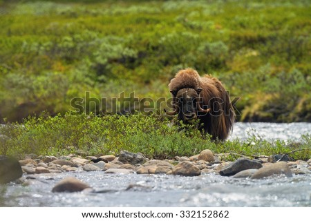 Muskox (Ovibos moschatus) at national park Dovrefjell (Norway) / Musk-ox - stock photo
