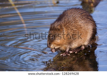 Muskrat feeding in shallow water riparian wetland habitat environment wildlife & nature photography rodent musk rat fur trapping Montana