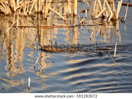 Muskrat in roadside pond - stock photo