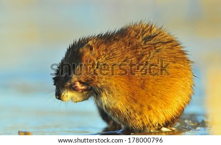 Muskrat ( Ondatra zibethica ) washes in sunset sun.