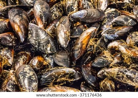 mussels on fish market. Fresh sea food. Seafood - stock photo