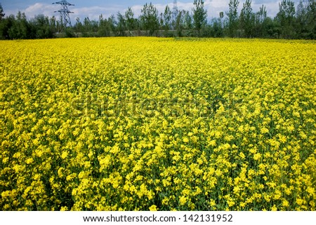 mustard field, srinagar, kashmir,india - stock photo