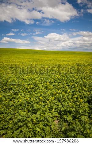 Mustard fields under a summer clouds in Washington State - stock photo