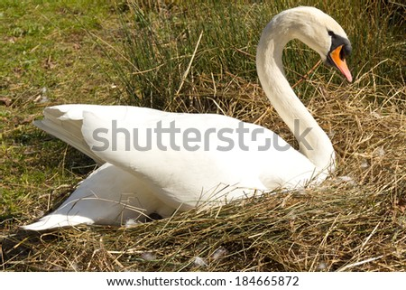 Mute swan alone at nest with eggs - stock photo