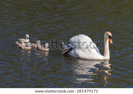 Mute Swan and Signets swimming in the UK - stock photo