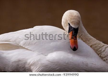 Mute swan closeup - stock photo