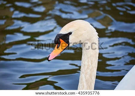 Mute swan - cygnus olor - at in the moat at Elsinore castle, with water drops on its plumage - stock photo
