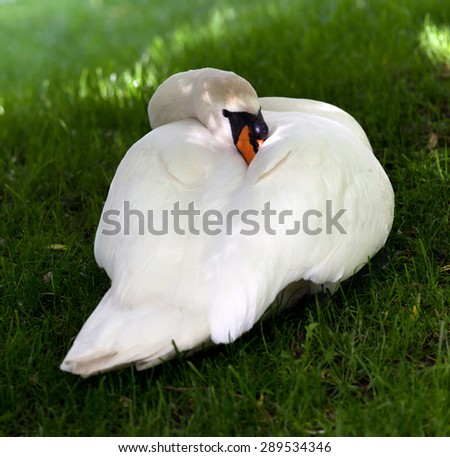 Mute swan on green grass. Close-up view.  - stock photo