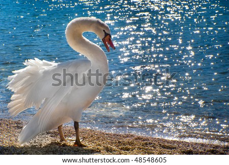 Mute swan on the beach - stock photo