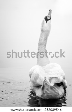 Mute swan stretching her neck towards light in calm water. Black and white photo. - stock photo