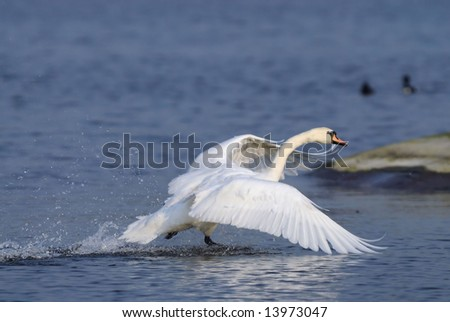 Mute Swan taking off on the runway - stock photo