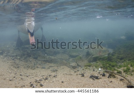 Mute swan underwater with rainbow trout - stock photo