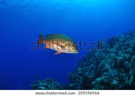 Mutton Snapper, Grand Cayman