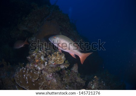 Mutton snapper swimming for cover on the reef - stock photo