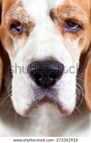 muzzle beagle , focus on the nose - stock photo