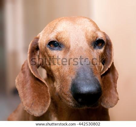 muzzle breed hunting dog dachshund sad stock photo royalty free