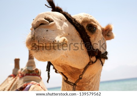 Muzzle camel close-up. Animal smiling. - stock photo