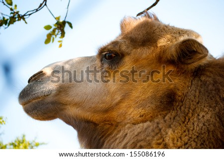 Muzzle camel in profile. Close-up. Outdoors, nature