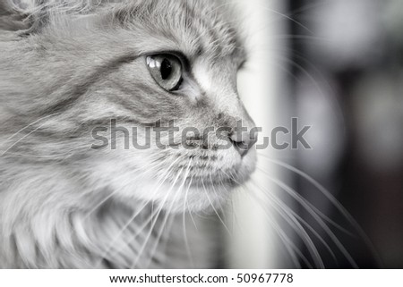 Muzzle fluffy cat with long whiskers