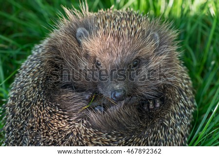 muzzle hedgehog close up