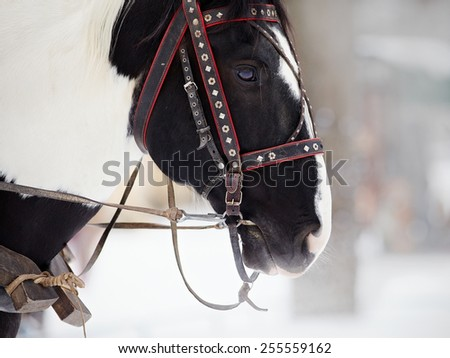 Muzzle of a horse in a harness. Stallion. Portrait of a horse. Thoroughbred horse. Beautiful horse. - stock photo