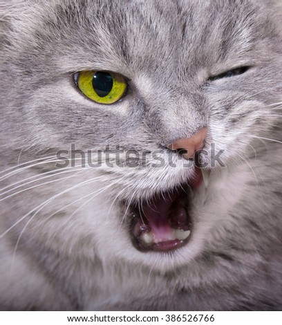 Muzzle of the shouting angry cat with the blinked eye and an open mouth. Close up, small depth of sharpness