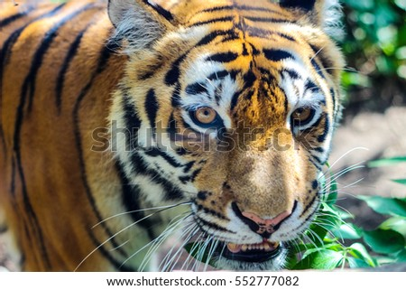 Muzzle of tiger