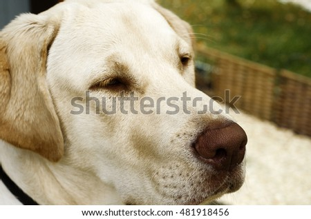 Muzzle pale labrador close up on background