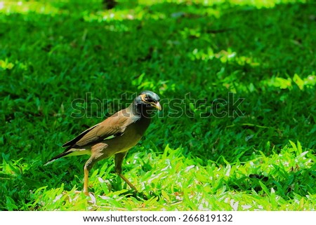 Myna are happy in the garden,Bhubing Palace is located on Doi Suthep, Chiang Mai of Thailand.