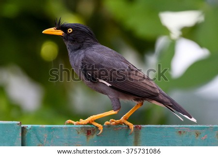 Myna bird standing. Common myna, Indian myna, Mynah (Acridotheres tristis) - stock photo