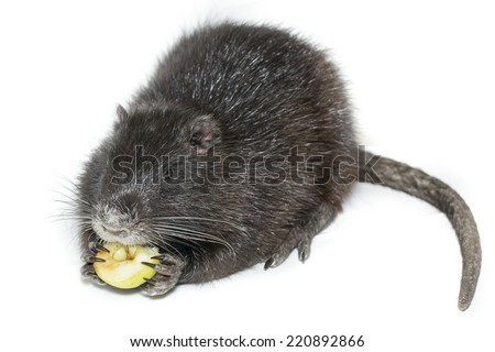 Myocastor coypus, Black Nutria breed as pets; in studio against a white background. - stock photo