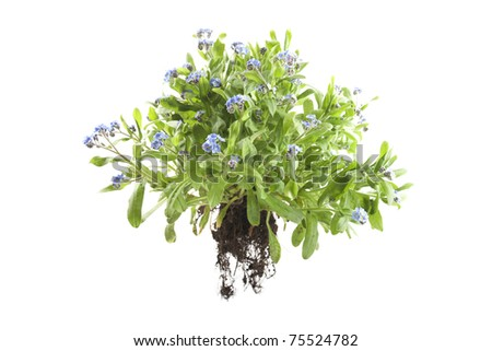 myosotis sylvatica forget me knot plant isolated on white background