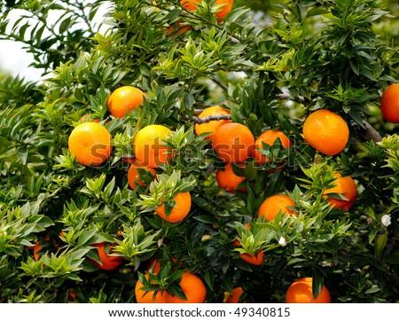 myrtle-leaved orange - stock photo