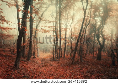 Mysterious autumn forest in fog with red and orange leaves in the morning in Crimea with magical atmosphere. fairytale - stock photo