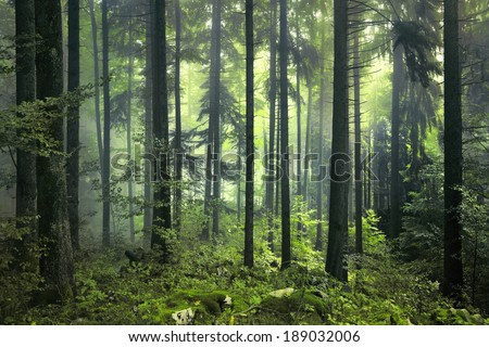 Mysterious dark and green spring forest.