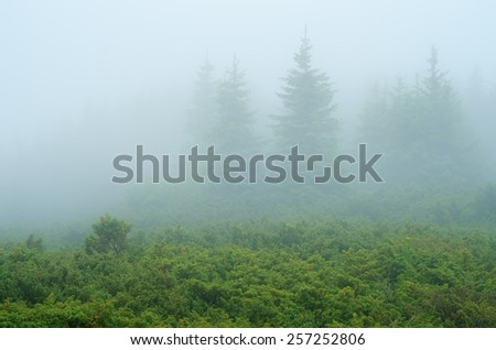 Mysterious landscape. Fog in the forest. Spruce Mountain - stock photo