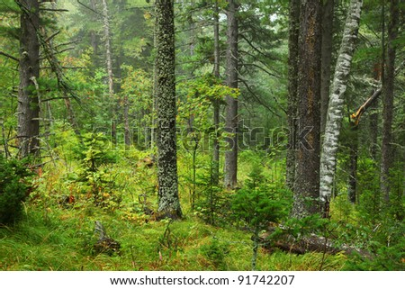 mystery forest in mountains of altai