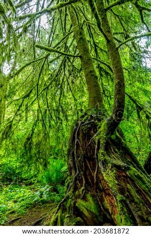 Mystical Cedar Trees Covered with Moss in a Pacific Northwest Rainforest.  Spring Forest.