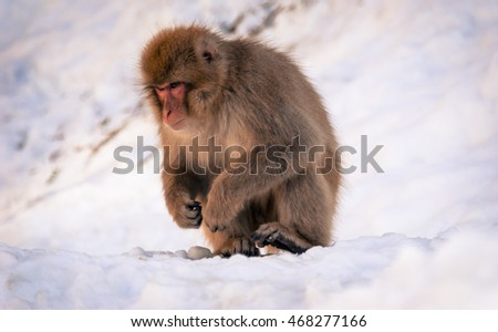 "Nagano, Japan - March 05, 2015:  Japanese macaque sits amongst the snow at Jigokudani Yaenkoen (snow monkey park"")"