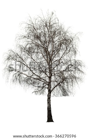 Naked birch tree on white background