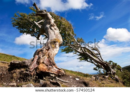 Naked roots on a very old Beech tree against blue sky on a sunny day - stock photo