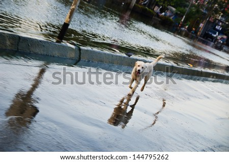NAKHON PATHOM, THAILAND - NOV 26:  dog escape from the flood  at  Utthayan road  during the worst flooding crisis  on November  26, 2011 in Nakhon Pathom, Thailand - stock photo