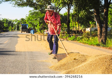 Nakornratchsima, Thailand - Dec 3, 2015 - an unidentified man works on  drying the paddy after harvesting from the rice field - stock photo