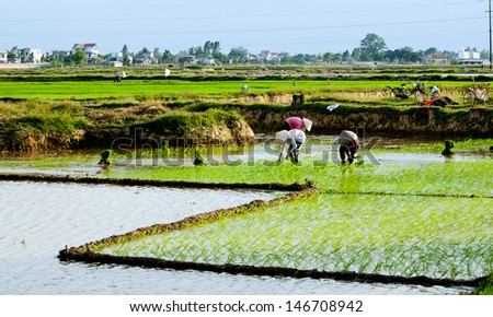 NAMDINH, VIETNAM - JULY 06 : Unidentified farmer growing rice field on July 06, 2013 in Namdinh, Vietnam. Agriculture is an important economic sector of Vietnam