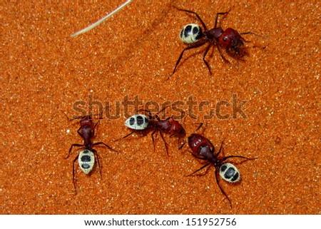 Namib Dune ants communicating. - stock photo